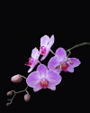 Beautiful pink Orchids on black background