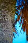 Woodpecker on Palm tree