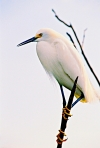Snowy Egret in Tree
