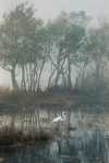 Egret in Morning Mist